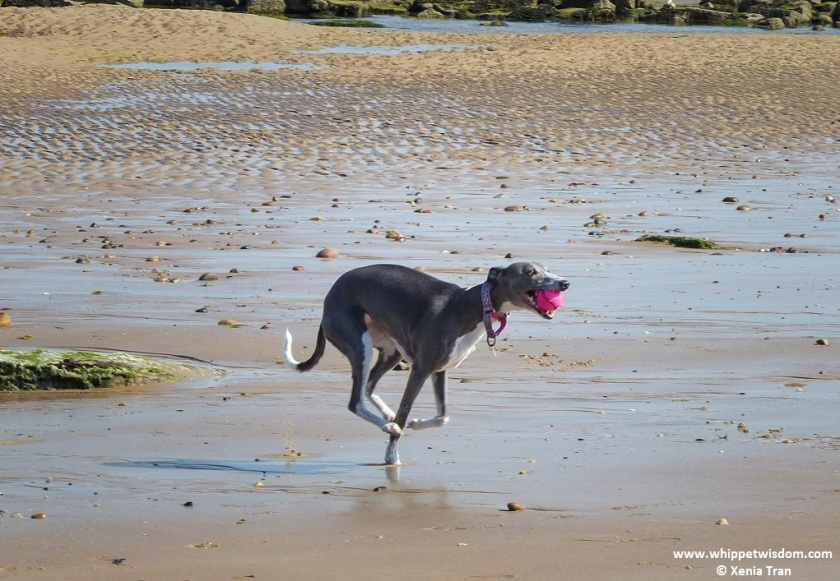 blue whippet running on tidal sands with a pink ball