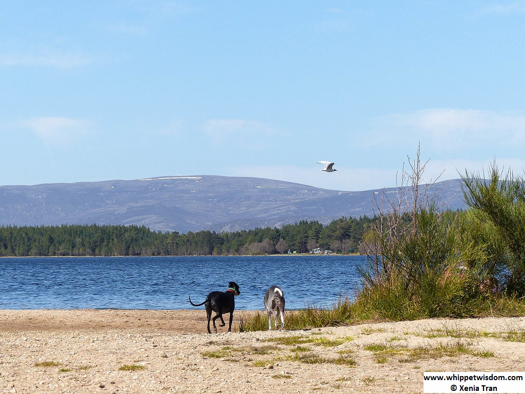 two whippets on loch shore in morning sun