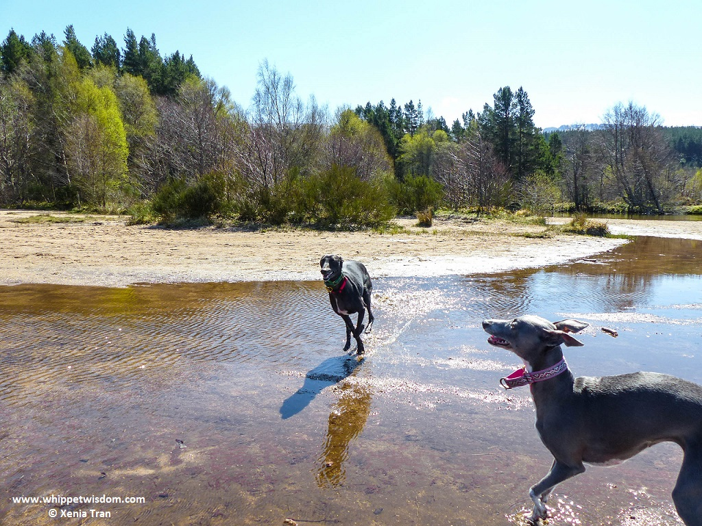 two whippets playing on the loch shore