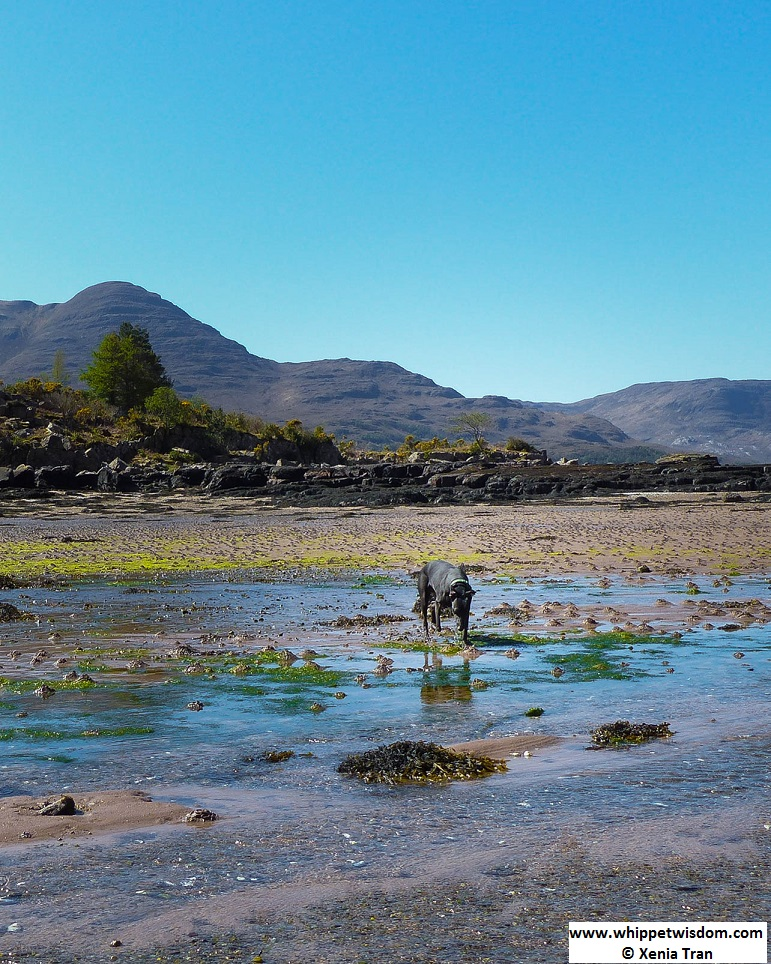 black whippet on the shore with tide flowing in at Loch Torridon
