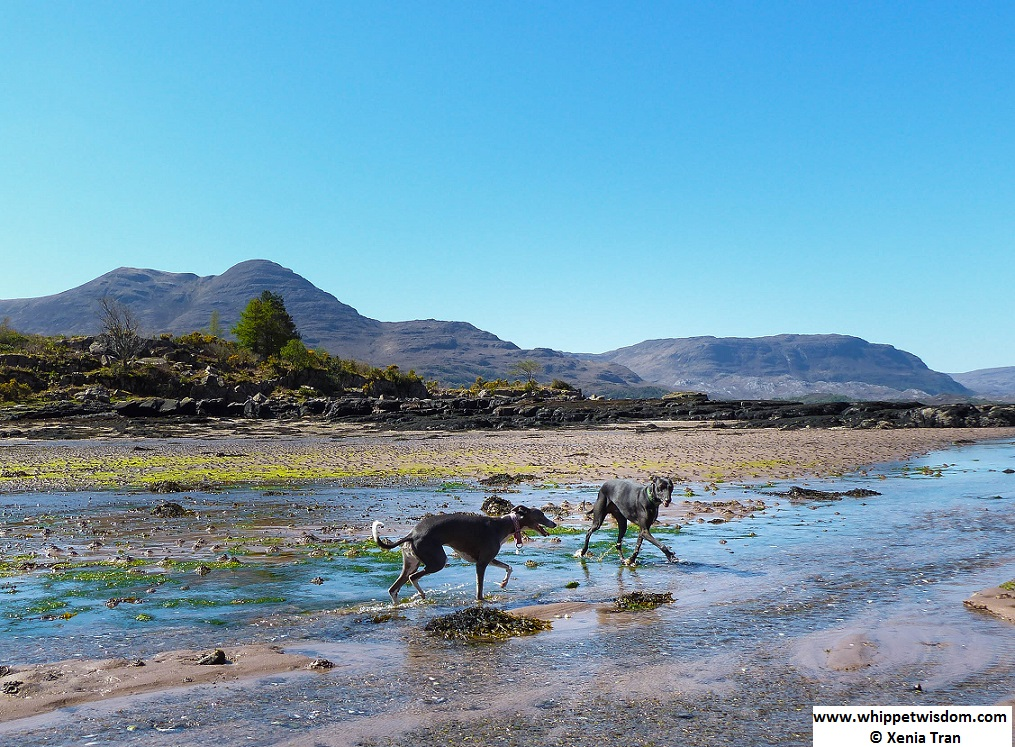 two whippets on the shore with tide flowing in at Loch Torridon