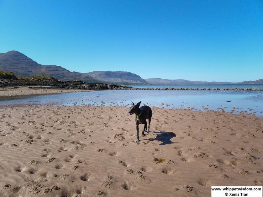 black whippet on Loch Torridon beach
