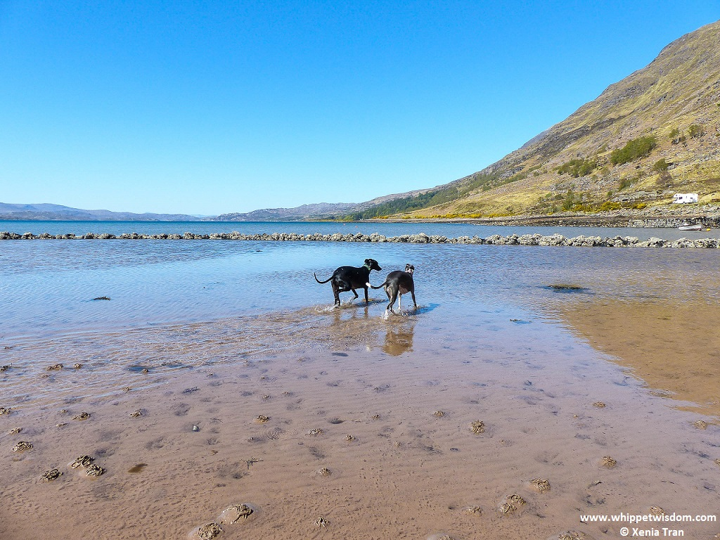 two whippets walking through the water at Loch Torridon