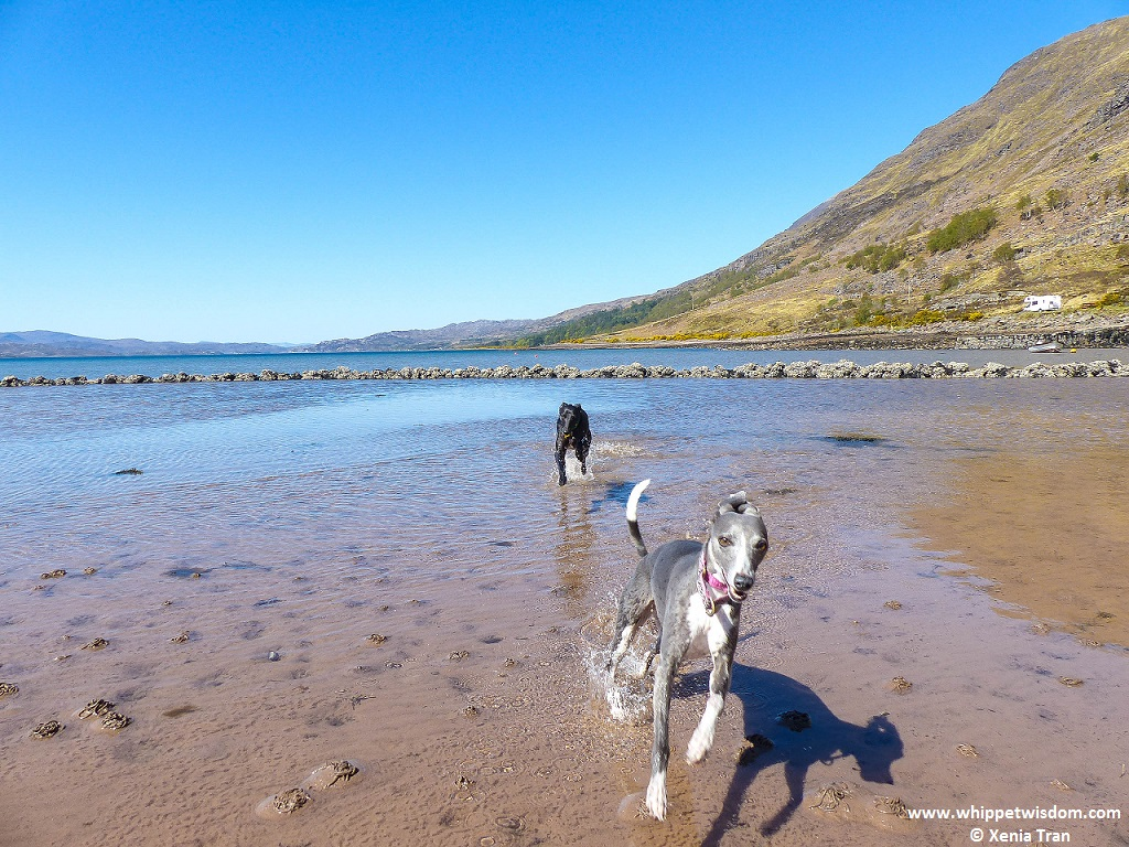two whippets running through the water at Loch Torridon