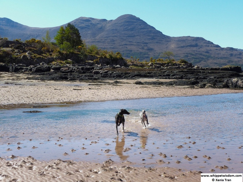 Two whippets running through tidal water at Torridon