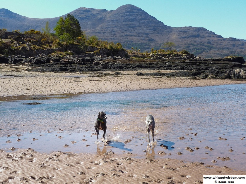 two whippets in tidal waters at Torridon
