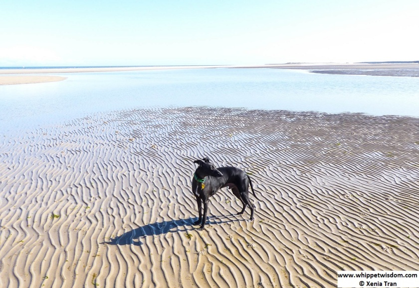 black whippet by a tidal lagoon