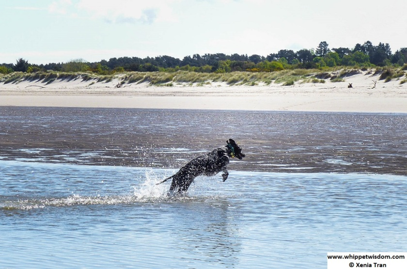 black whippet leaping through tidal lagoon