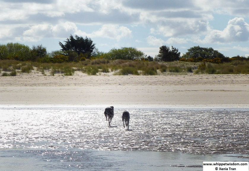 two whippets running through lagoon to the beach