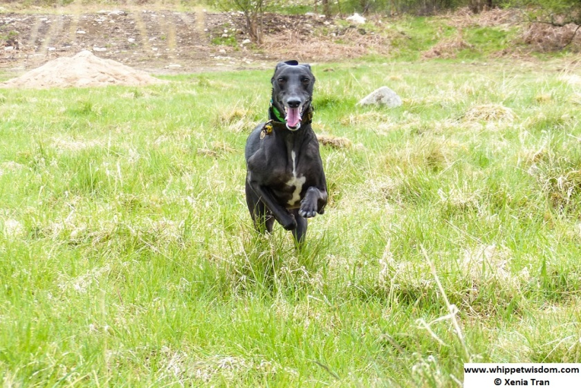 black whippet running through spring grass
