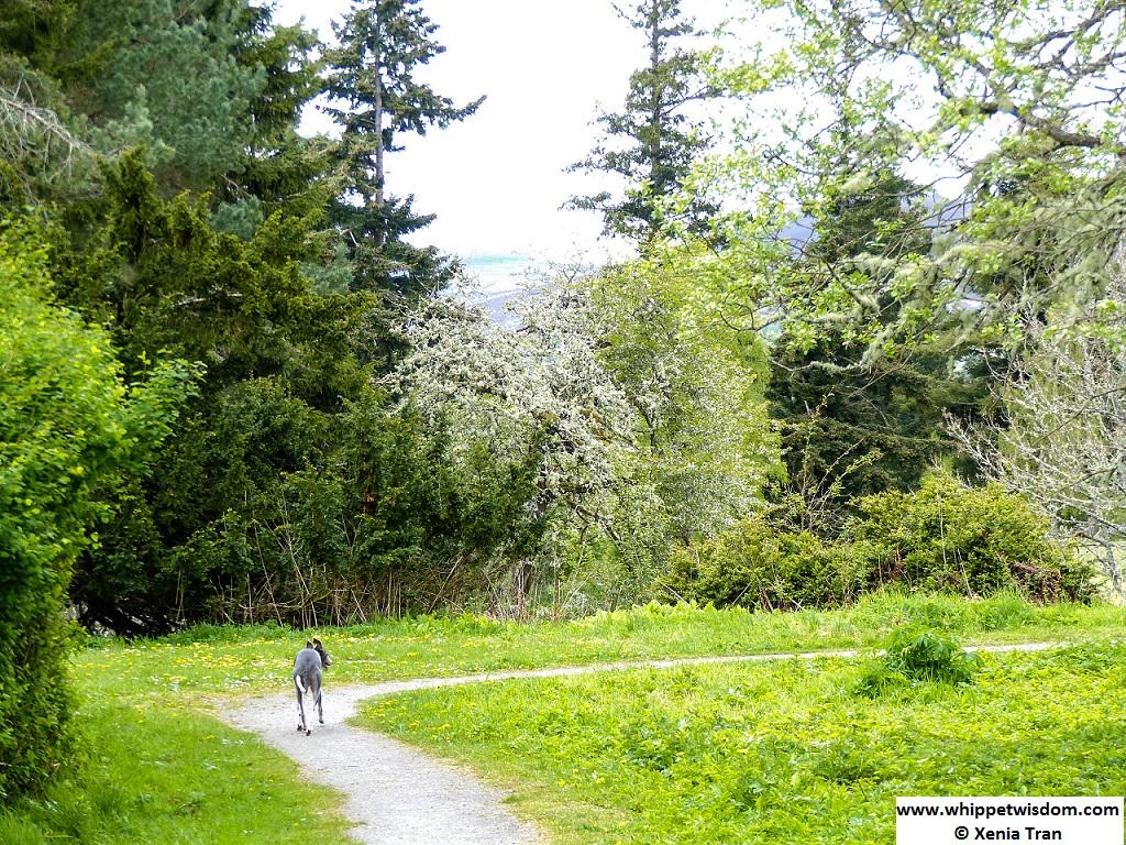 blue whippet walking in walled garden full of blossom