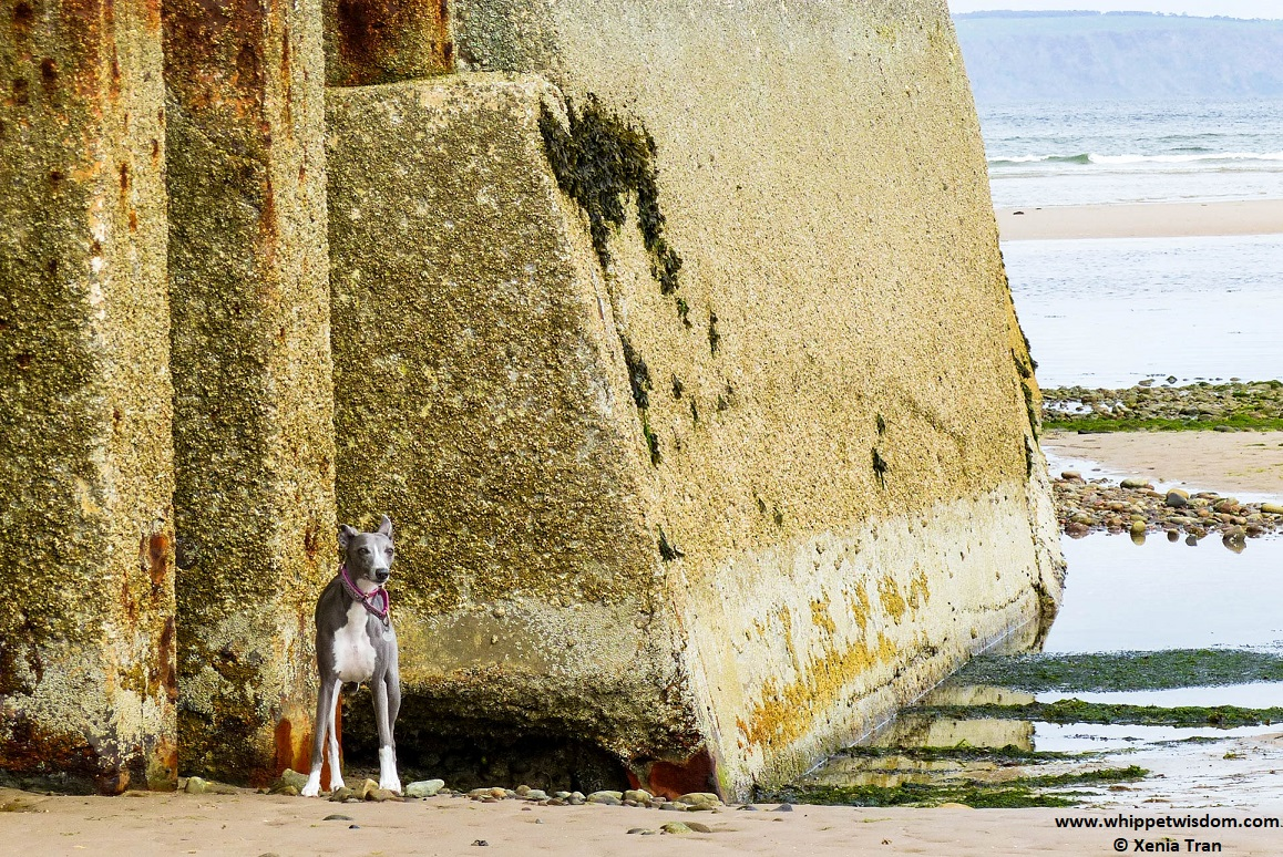 blue whippet standing by the pier at low tide