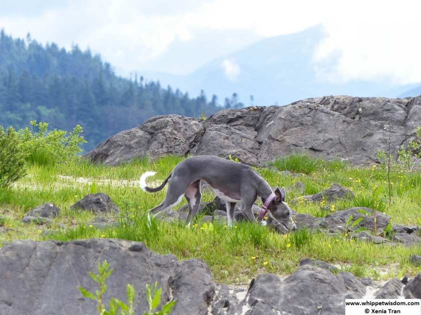 blue whippet among grey rocks, grass and buttercups