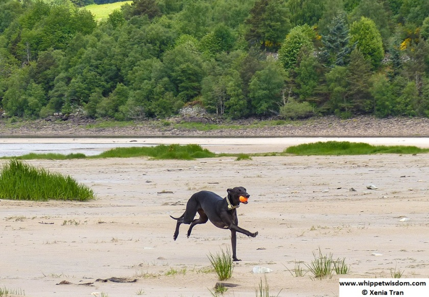 black whippet running with a ball on the loch shore