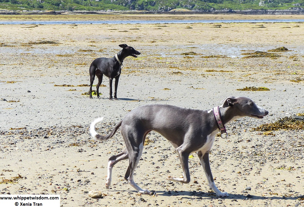 two whippets on tidal sand