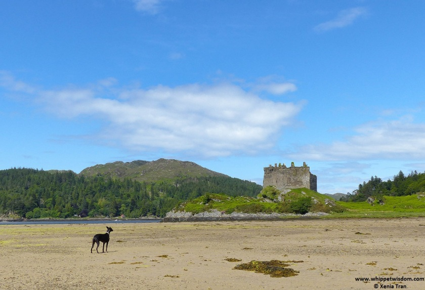 black whippet at Tioram Castle