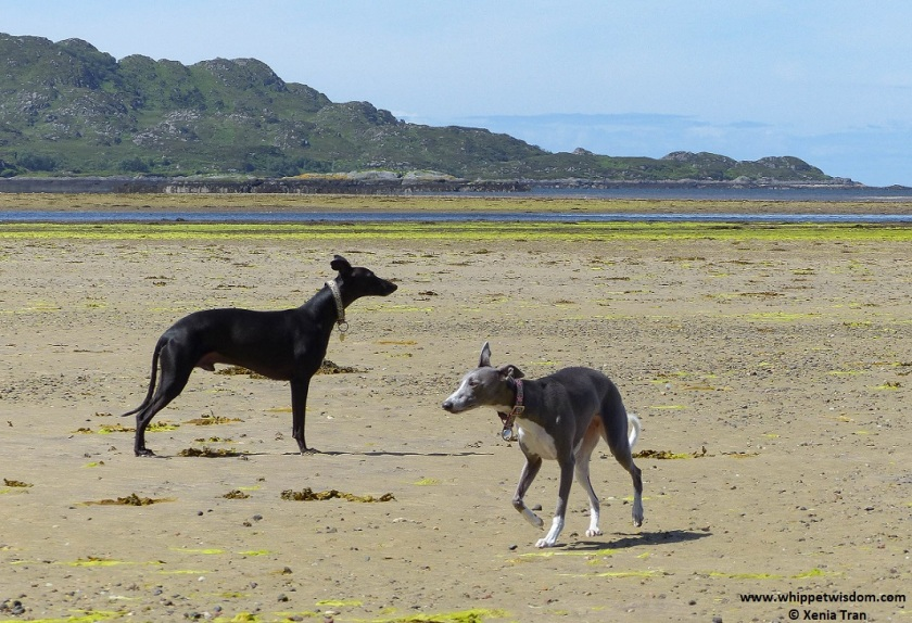 black and blue whippets on tidal sands