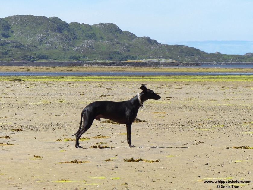 black whippet on tidal sands