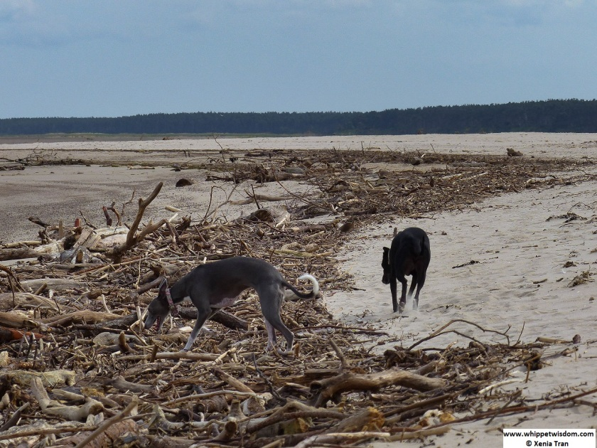 two whippets on the beach with lots of driftwood