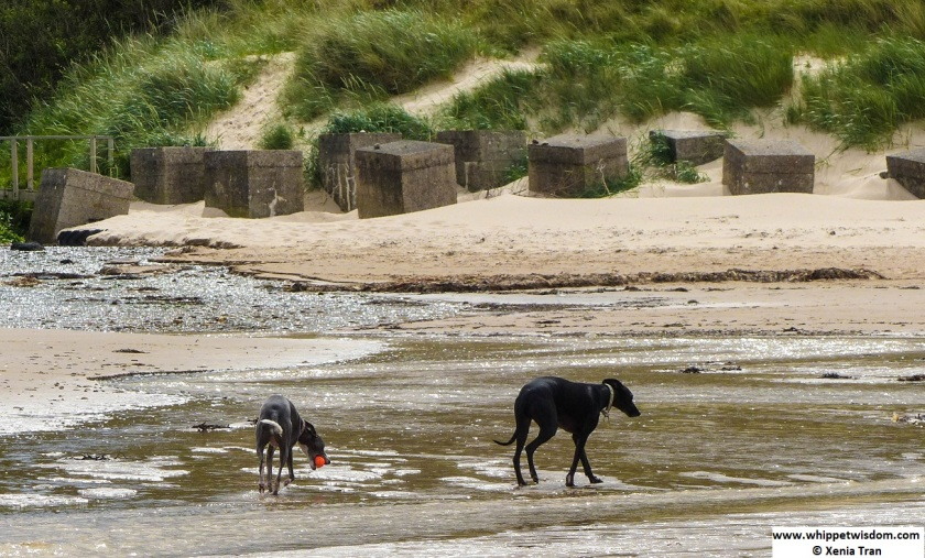 two whippets walking across a burn on the beach