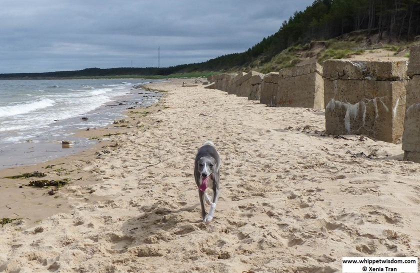 blue whippet walking on the beach with a big smile