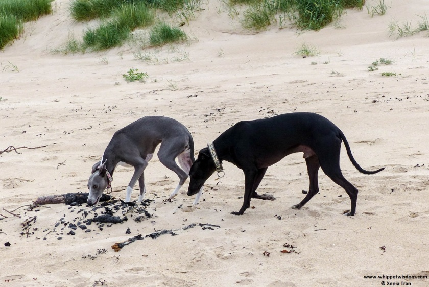 two whippets on the beach sniffing barbecue embers