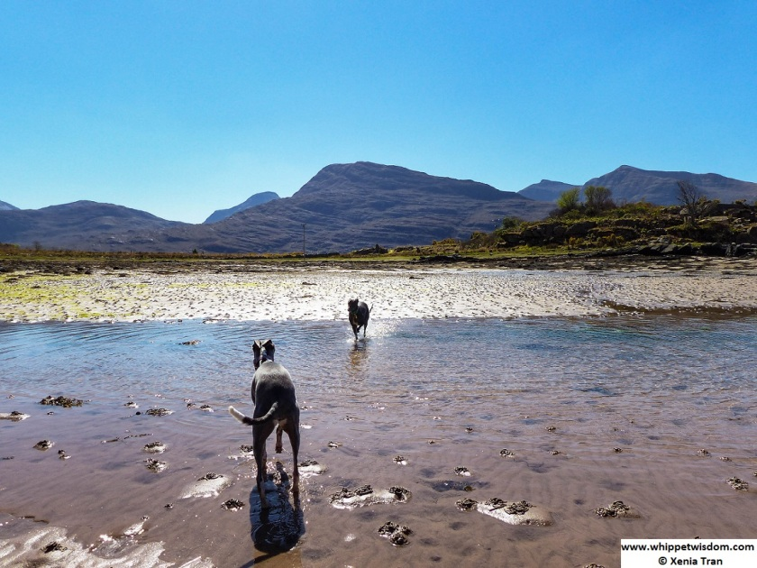 two whippets playing in tidal loch