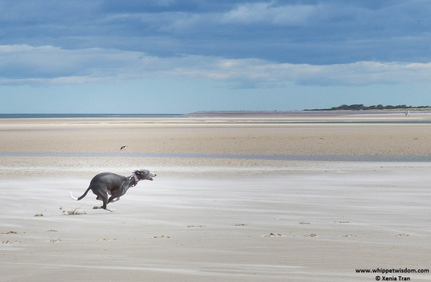 blue whippet running on tidal sands