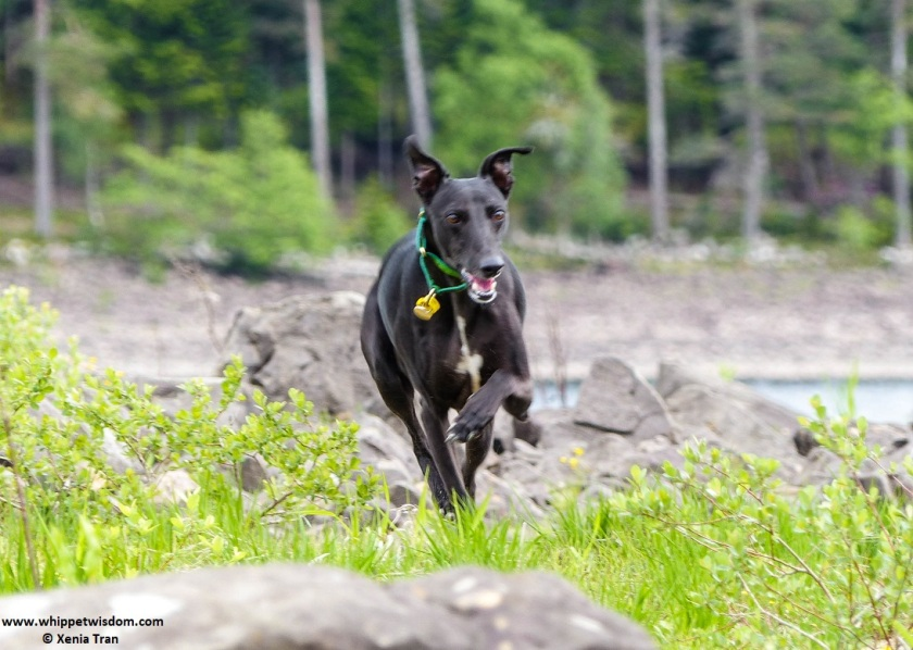 black whippet running on loch island