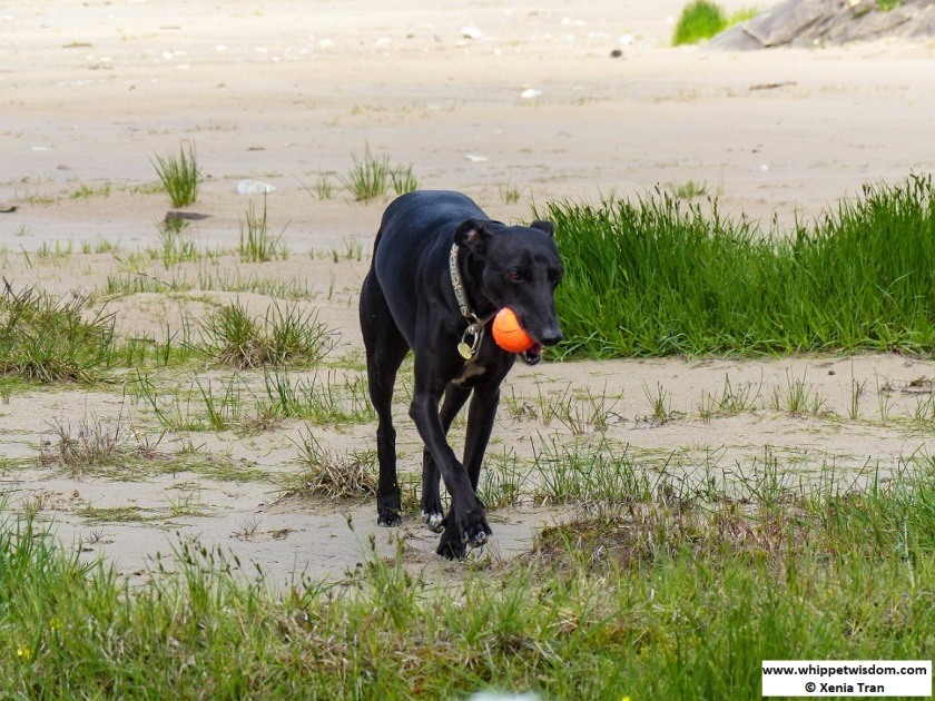 black whippet walking with an orange ball