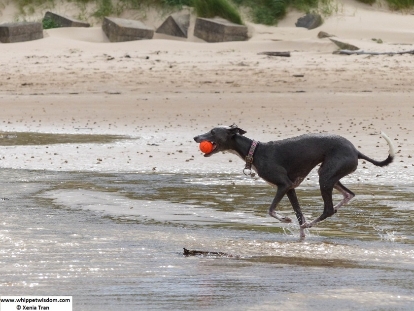 blue whippet running with a ball through a tidal burn