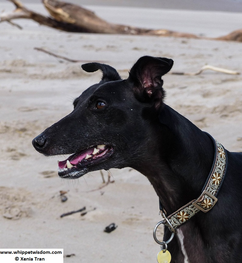 portrait of black whippet on the beach
