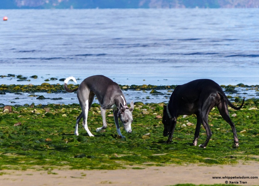 two whippets on tidal sand with seaweed