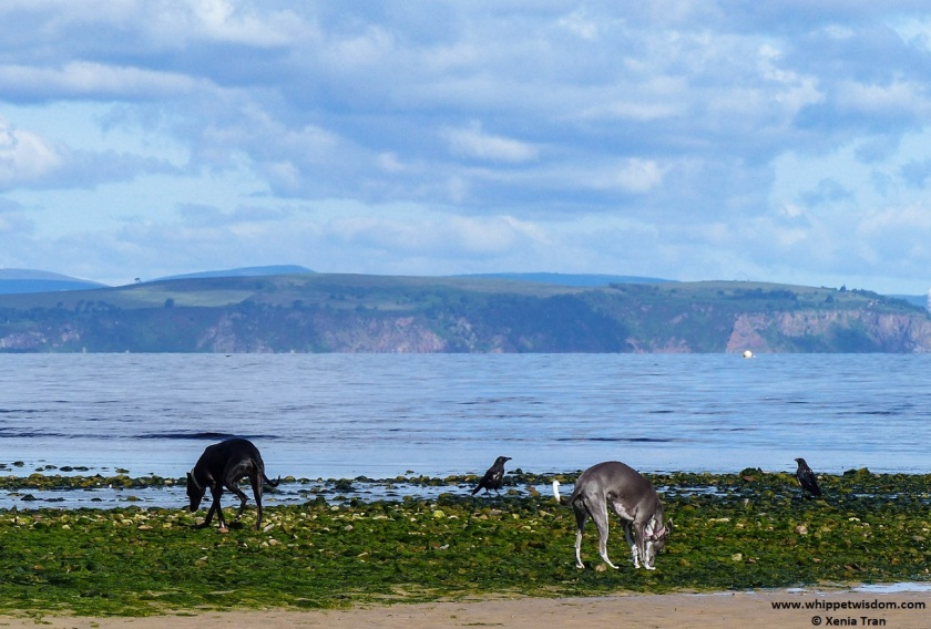 two whippets on tidal sand with seaweed and two crows in conversation