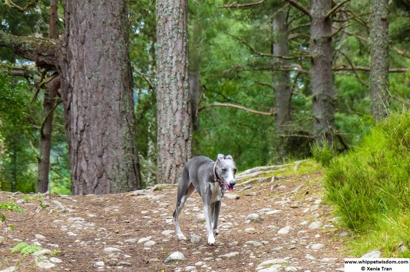 blue whippet walking in forest