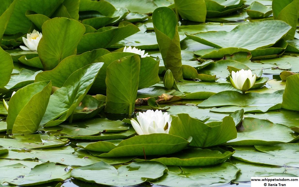water lilies at Lochan Mor