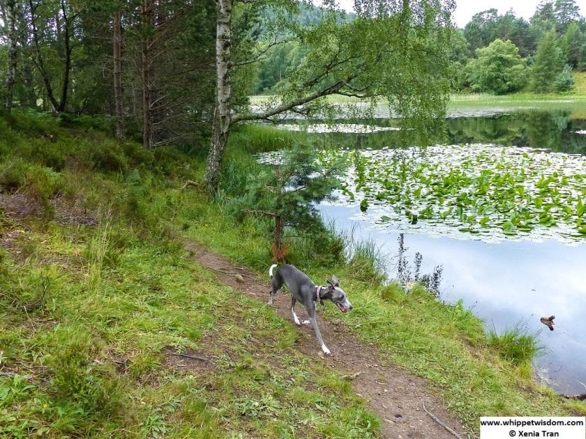 Blue whippet running along Lochan Mor