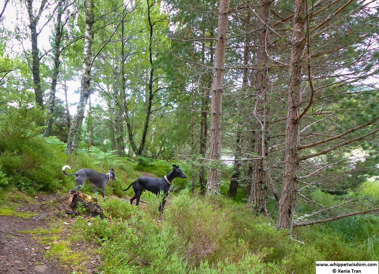 two whippets on a forest trail