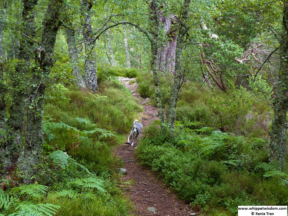 blue whippet running on a forest trail