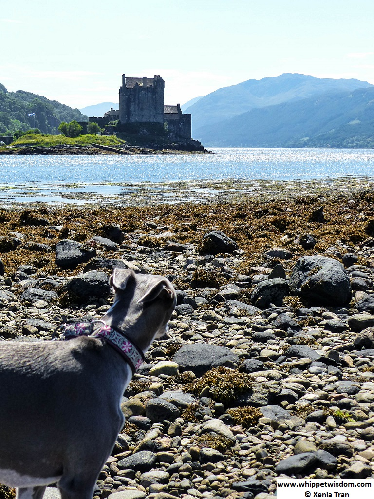 Blue whippet looking across the water at Eilean Donan Castle