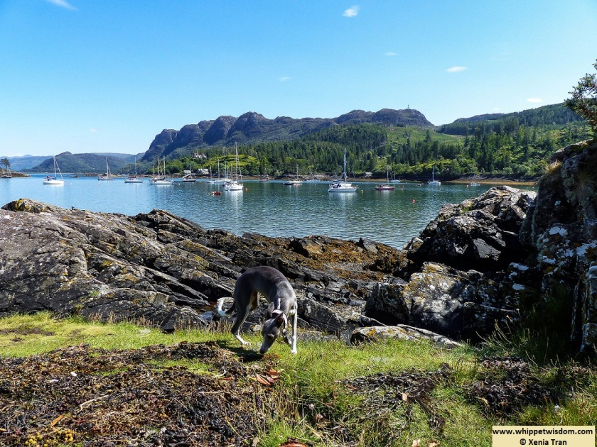 blue whippet on island in Plockton Bay