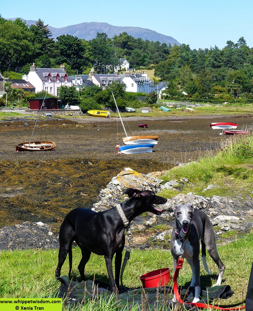 two whippets at low tide in Plockton Bay