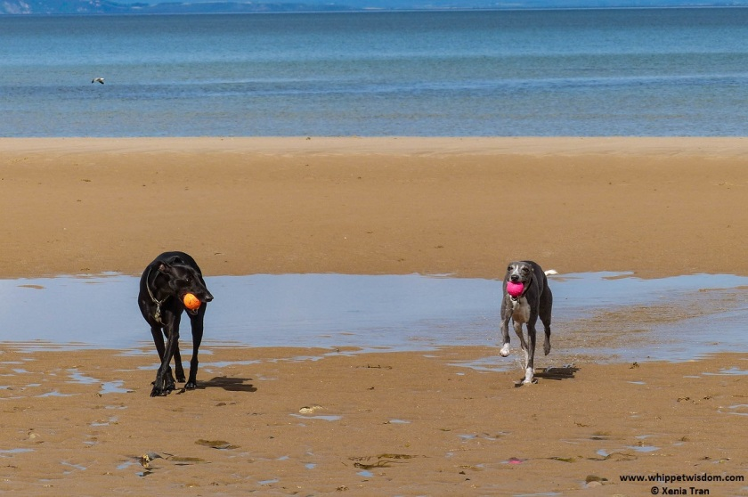 two whippets with balls on tidal sands