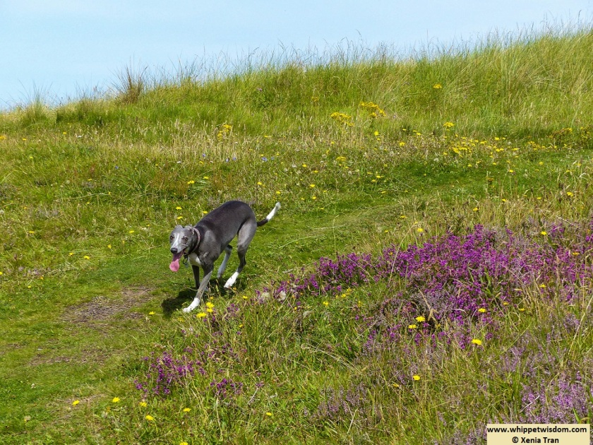 blue whippet running on dunes with purple heather