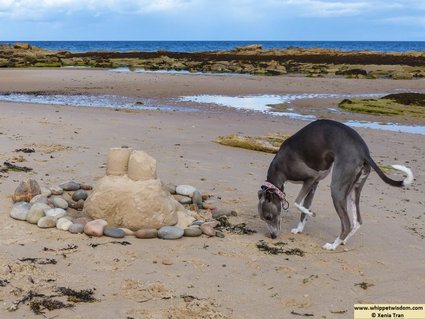 blue whippet on the beach by a sandcastle