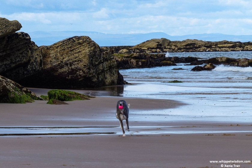 blue whippet with a pink ball in her mouth running on the beach