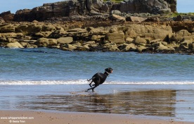 black whippet with an orange ball chasing waves on seashore