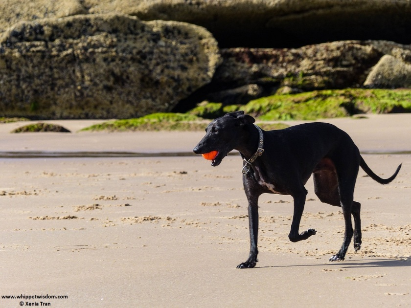 black whippet with an orange ball on tidal sands