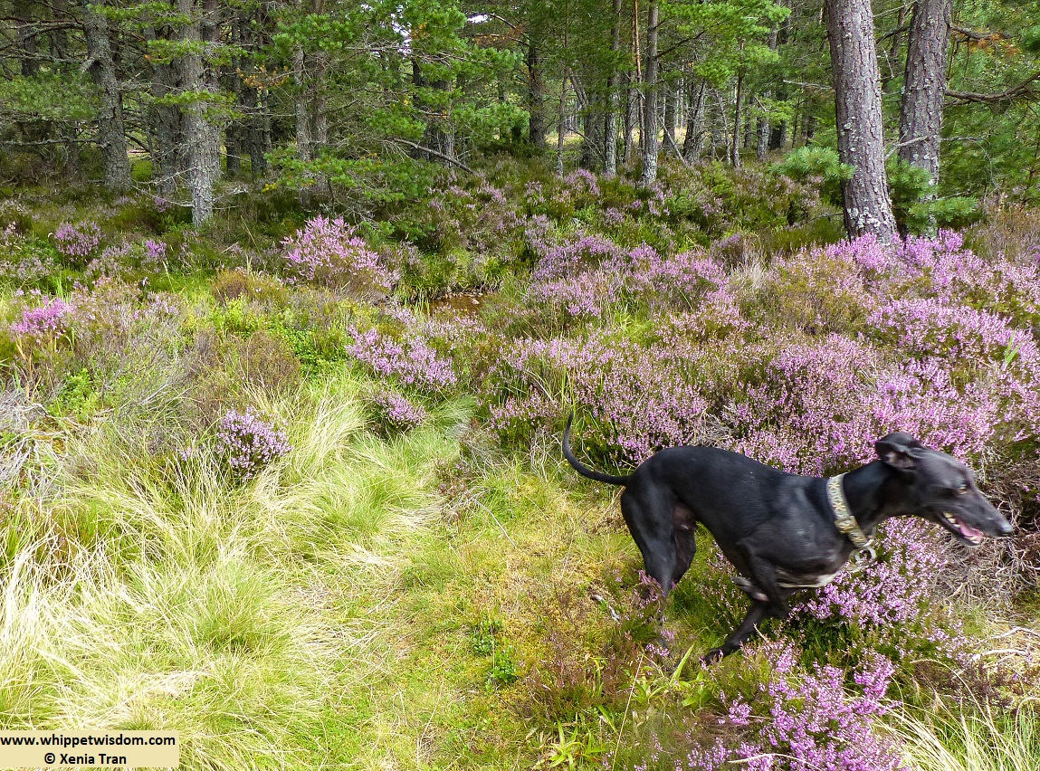 black whippet running through heather in forest