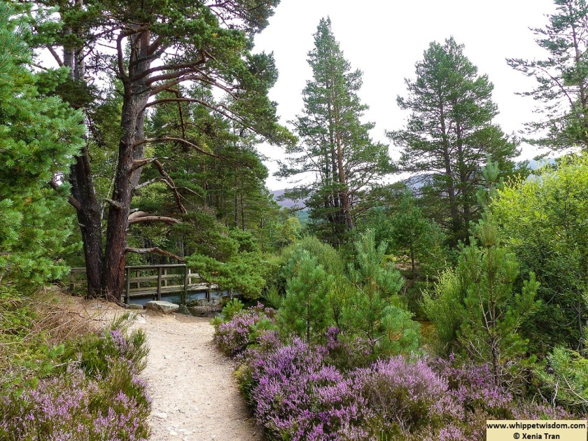 wooden bridge across a burn on forest trail with blooming heather